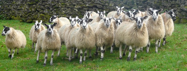 fell-dales-outside-catering-cumbria-sheep-lamb